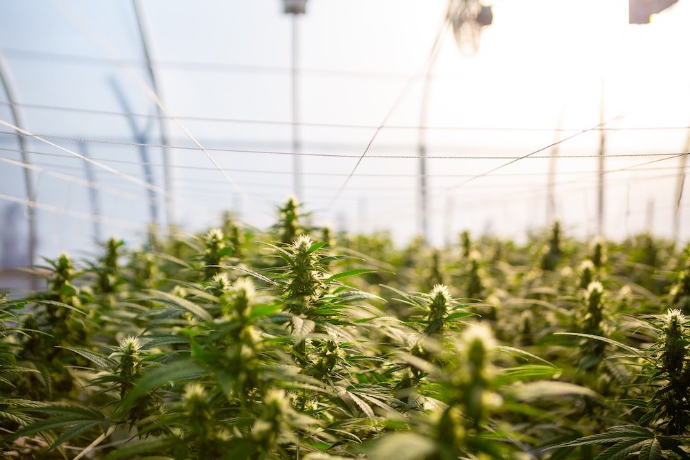Hemp plants growing on a farm